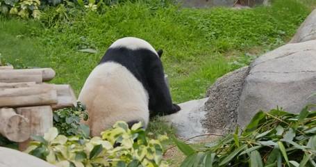Fototapete - Panda drink of water