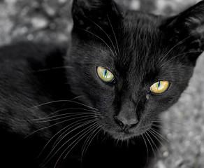 Portrait of a beautiful black cat 3