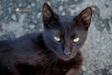 Portrait of a beautiful black cat 4