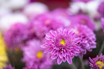 Chrysanthemums flower is beautiful in the garden.for background,Abstract,texture,Soft and Blurred style.postcard