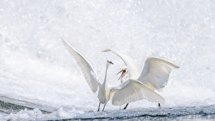 two white egret fighting together near a waterfall background