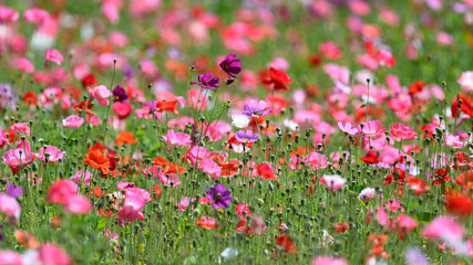 multicolor field of poppies and cosmos flowers