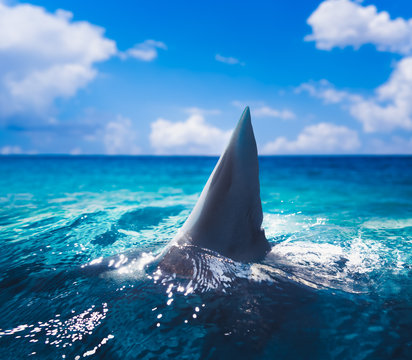 White shark fin above water