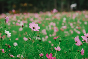 Cosmos flower (Cosmos Bipinnatus) with blurred bokeh background