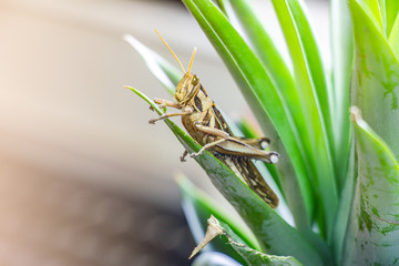 Patanga on the leaf. Macro insect, grasshopper is ducetia japonica (thunberg)
