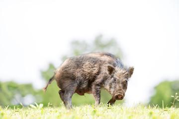 緑地でカメラ目線で威嚇する日本猪。年賀、2019年、干支、イノシシ、年賀状イメージ