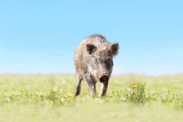 緑地でカメラ目線で歩み寄る日本猪。年賀、2019年、干支、イノシシ、年賀状イメージ