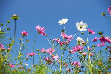 鶴見緑地公園のコスモス畑