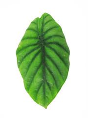 Anthurium or Elephant Ear Leaf, Nature Photography
