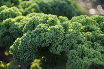 Plant of green kale in the autumn sun waiting to grown full for the winter
