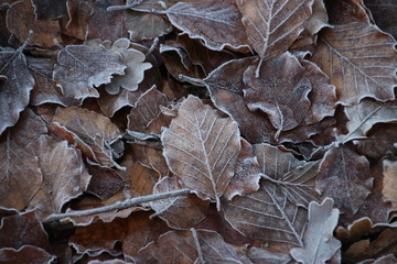 Frozen brown leaves at the forest of the Grebberberg in Rhenen in the netherlands