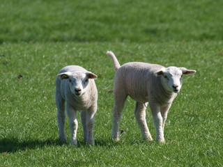 cute young lambs  in the meadows of Moordrecht in the sun in the Netherlands