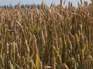Brown grain plants in a field of the Tweemandspolder in Zevenhuizen, the Netherlands.