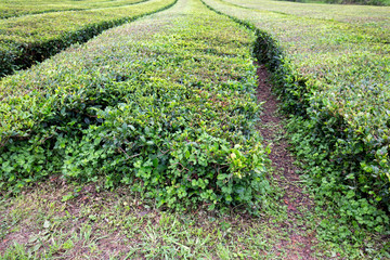 Beautiful tea growing near Sao Bras on Sao Miguel in the Azores.