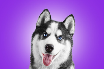 Portrait of a blue eyed beautiful smiling Siberian Husky dog with tongue sticking out isolated on proton purple background
