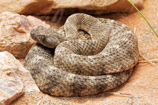 Tiger Rattlesnake native to Sonoran Desert south central Arizona, Mexico