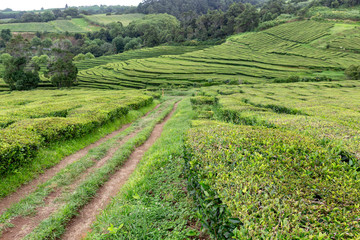 Lanscape view of a beautiful tea plantation on the island of Sao Miguel in Portugal.