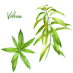 Lemon verbena, watercolour illustration