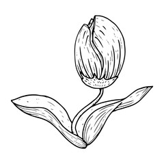 Tulip icon. Vector illustration of a tulip flower. Hand drawn tulip.