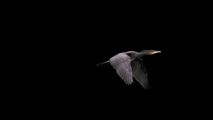 flying great cormorant with dark background