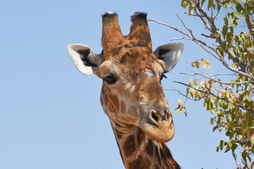 Giraffenportrait einer Giraffe(giraffa camelopardalis) im Damaraland bei Palmwag in Namibia
