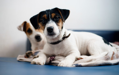 Purebred puppy jack russell terrier playing with his mother at home on the couch.