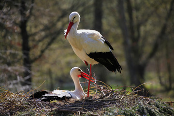 Weißstorch (Ciconia ciconia),  Paar am Nest
