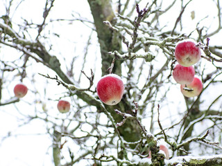 Äpfel als Weihnachtskugeln im Schnee