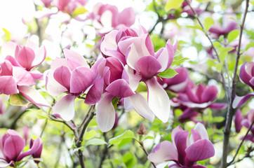 Obraz Beautiful magnolia tree blossoms in springtime. Jentle magnolia flower against sunset light. Romantic floral background. - fototapety do salonu
