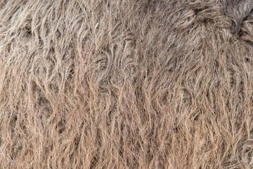 Fototapete - Animal skins texture of camel