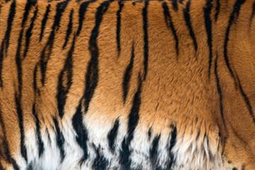 Wall Mural - Animal skins texture of Tiger