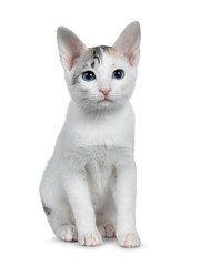 Cute silver patterned shorthair Japanese Bobtail cat kitten sitting front view, looking at lens with blue eyes. Isolated on white background.