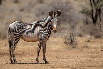 Photo sur Plexiglas Zebra Gerevy zebra in the dry Samburu National Park in Kenya