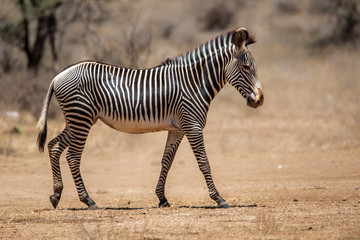 Gerevy zebra in the dry Samburu National Park in Kenya