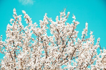 Spring mood. Fresh blue background with white blooming cherry flowers for the holidays.