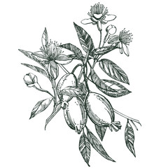 Collection of feijoa fruit, flower, leaves and feijoa slice. Vector hand drawn illustration.