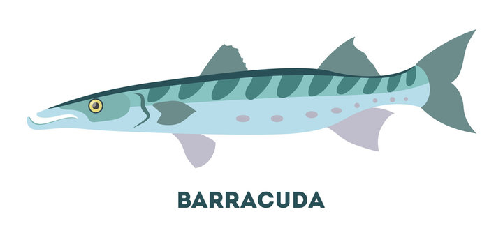 Barracuda marine creature. Fish from the ocean