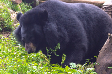 big and fluffy black bear wallking in a zoo