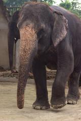 big elephant walks in the park