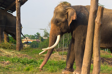 elephant in the household of man, mockery of animals