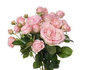 Beautiful fresh roses on white background