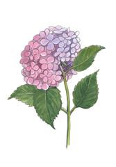 Foto op Aluminium Hydrangea Watercolor botanical illustration of hydrangea.