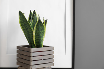 Decorative sansevieria plant in wooden box Fotomurales