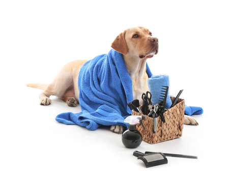 Cute Labrador Retriever dog and set for grooming on white background