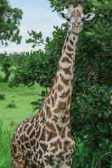 Wild Giraffes in the Mikumi National Park, Tanzania