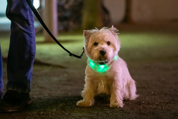 Little white dog, West HIghland White Terrier  sitting in the dark and wearing a light collar