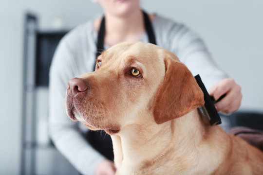 Female groomer brushing dog in salon