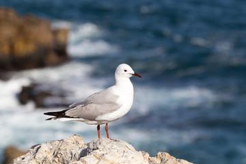Gull on a stone