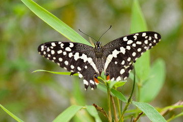 Brush-footed butterfly (Limenitis) on leaf