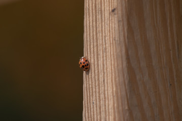 Lines and spots in nature come together as a spotted ladybug climbs a striped wood grain deck rail.  A nice picture depicting a small part of the insect world with bokeh effect.